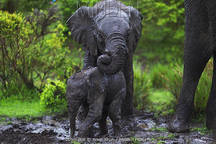 African Elephant (Loxodonta africana) calves wallowing in mud, Masai Mara, Kenya