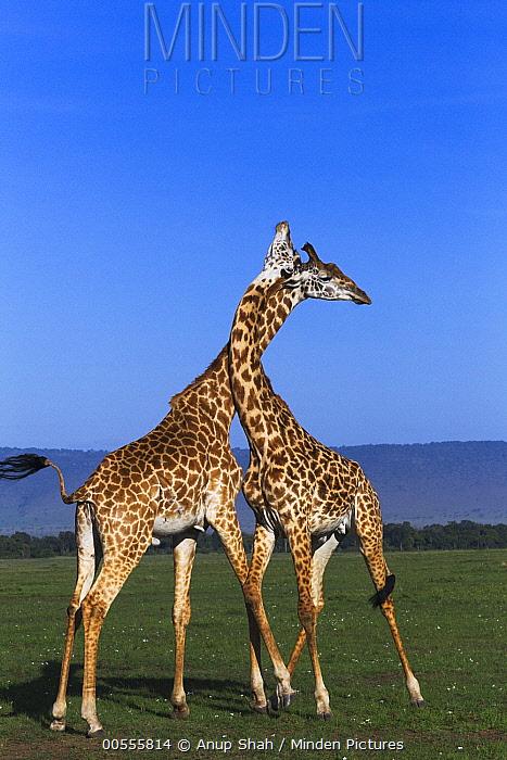 Masai Giraffe (Giraffa tippelskirchi) males necking, Masai Mara, Kenya