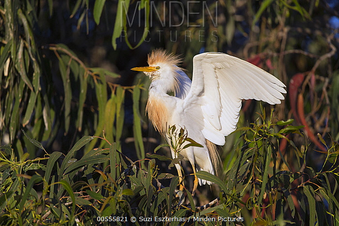Cattle Egret (Bubulcus ibis) spreading wings, California
