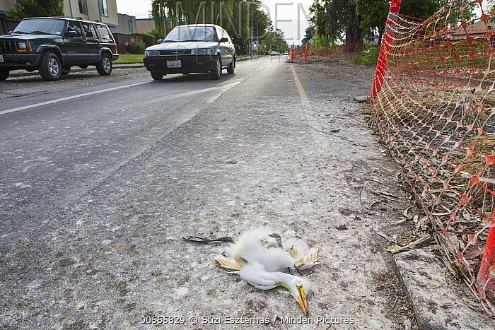 Great Egret (Ardea alba) dead chick, three weeks old, in road, Ninth Street Rookery, Santa Rosa, California