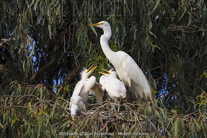 Great Egret (Ardea alba) parent and begging four week old chicks in nest, Sonoma County, California