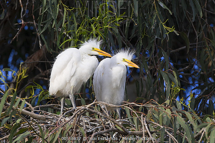 Great Egret (Ardea alba) four week old chicks in nest, Sonoma County, California