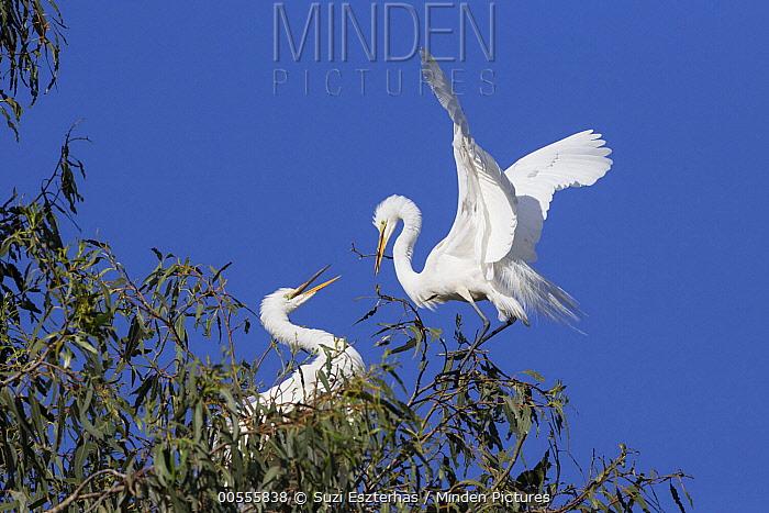 Great Egret (Ardea alba) pair nesting, Sonoma County, California