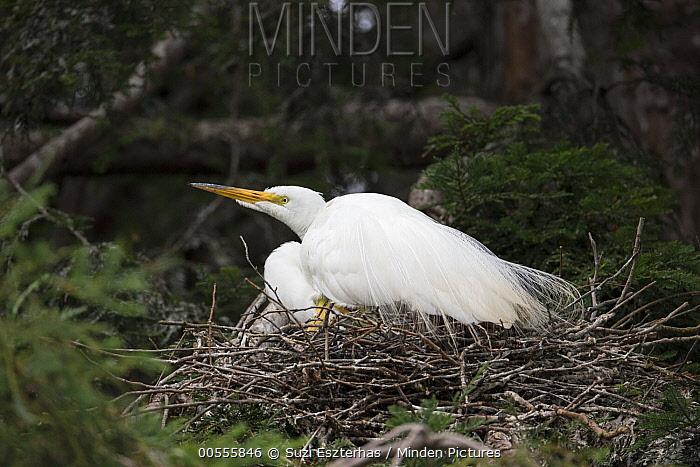 Great Egret (Ardea alba) on nest, Sonoma County, California