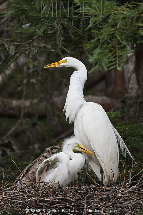Great Egret (Ardea alba) parent and three week old chick in nest, Sonoma County, California