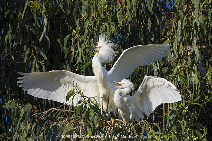 Snowy Egret (Egretta thula) four week old chick begging for food, Sonoma County, California