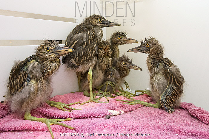 Black-crowned Night Heron (Nycticorax nycticorax) one week old chicks in incubator, International Bird Rescue, Fairfield, California