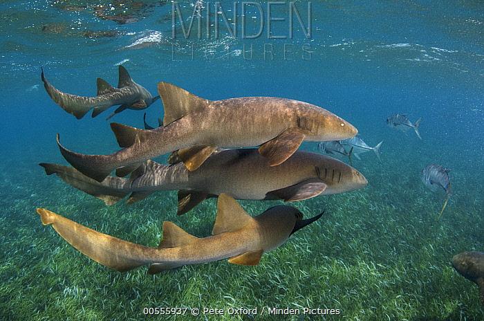 Short-tail Nurse Shark (Ginglymostoma cirratum) and Horse-eye Trevally (Caranx latus) school, Hol Chan Marine Reserve, Belize  -  Pete Oxford