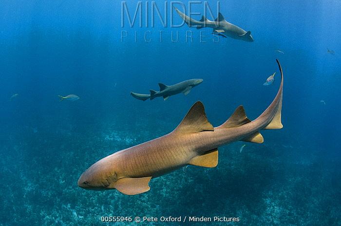 Short-tail Nurse Shark (Ginglymostoma cirratum) trio, Hol Chan Marine Reserve, Belize  -  Pete Oxford