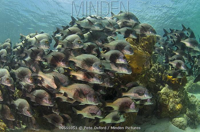 Black Margate (Anisotremus surinamensis) school, Hol Chan Marine Reserve, Belize  -  Pete Oxford