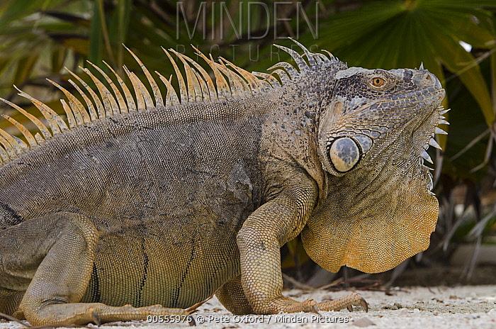Green Iguana (Iguana iguana) male showing large dewlap, Banco Chinchorro, Yucatan Peninsula, Mexico  -  Pete Oxford