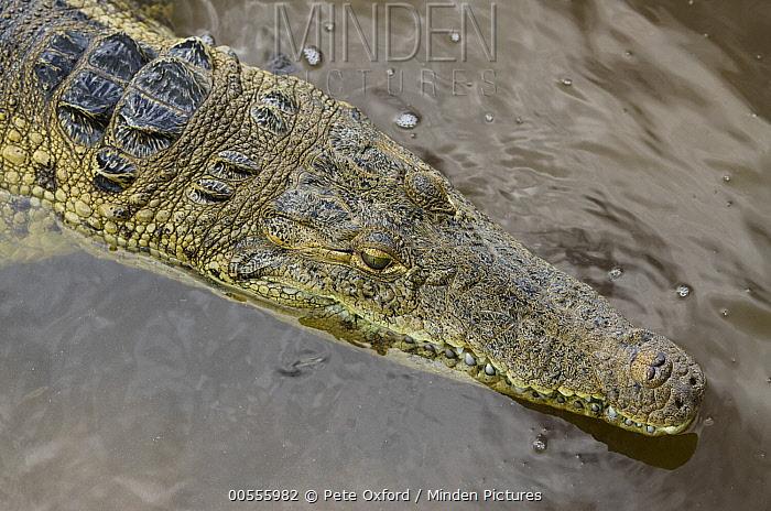 American Crocodile (Crocodylus acutus), Banco Chinchorro, Yucatan Peninsula, Mexico  -  Pete Oxford