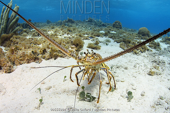 Caribbean Spiny Lobster (Panulirus argus), Banco Chinchorro, Yucatan Peninsula, Mexico  -  Pete Oxford