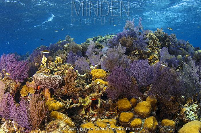 Coral reef, Banco Chinchorro, Yucatan Peninsula, Mexico  -  Pete Oxford