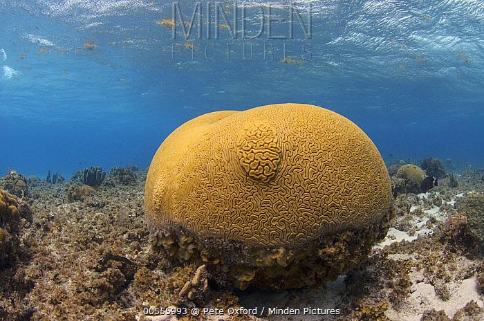 Brain Coral (Diploria labyrinthiformis), Banco Chinchorro, Yucatan Peninsula, Mexico  -  Pete Oxford
