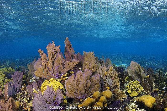 Soft Coral (Gorgonia sp) on reef, Banco Chinchorro, Yucatan Peninsula, Mexico  -  Pete Oxford