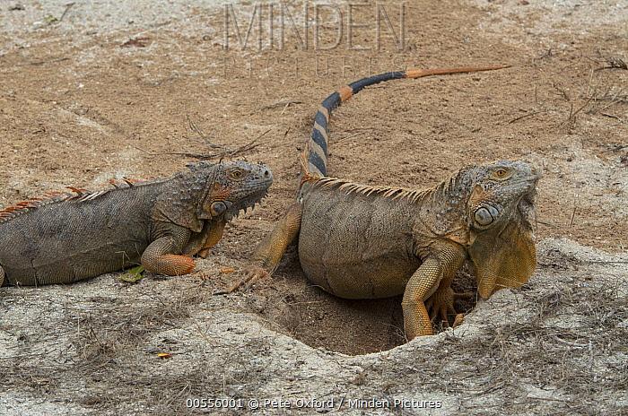 Green Iguana (Iguana iguana) female and male, Banco Chinchorro, Yucatan Peninsula, Mexico  -  Pete Oxford