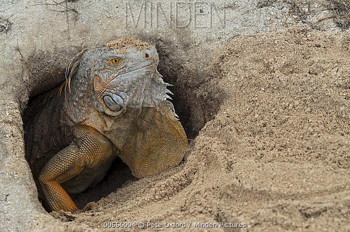 Green Iguana (Iguana iguana) female in nest burrow, Banco Chinchorro, Yucatan Peninsula, Mexico  -  Pete Oxford