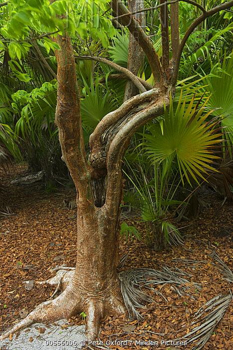 Gumbo Limbo (Bursera simaruba) tree, Banco Chinchorro, Yucatan Peninsula, Mexico  -  Pete Oxford