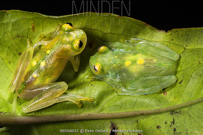 Glass Frog (Hyalinobatrachium aureoguttatum) pair, native to South America