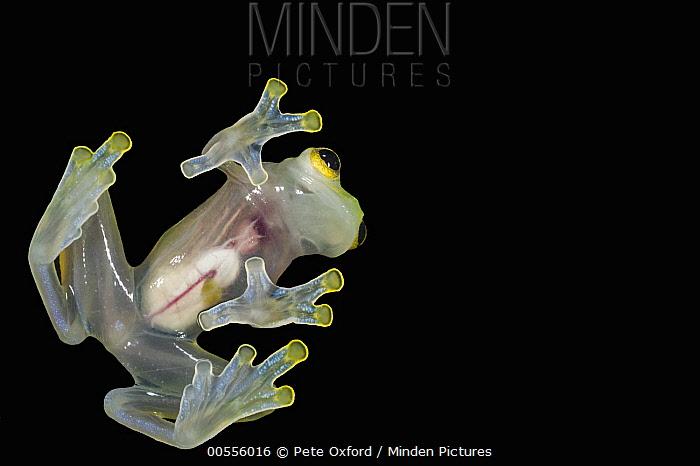 Glass Frog (Hyalinobatrachium aureoguttatum) underside showing internal organs, native to South America