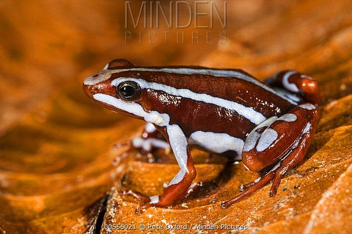 Anthony's Poison Arrow Frog (Epipedobates anthonyi), native to South America