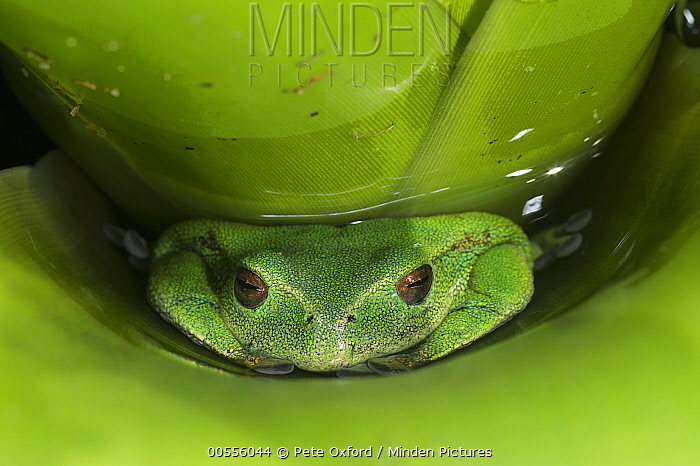 Marsupial Frog (Gastrotheca orophylax) hiding in bromeliad, native to South America