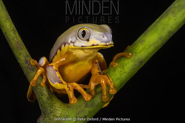 Splendid Leaf Frog (Agalychnis calcarifer), native to South America