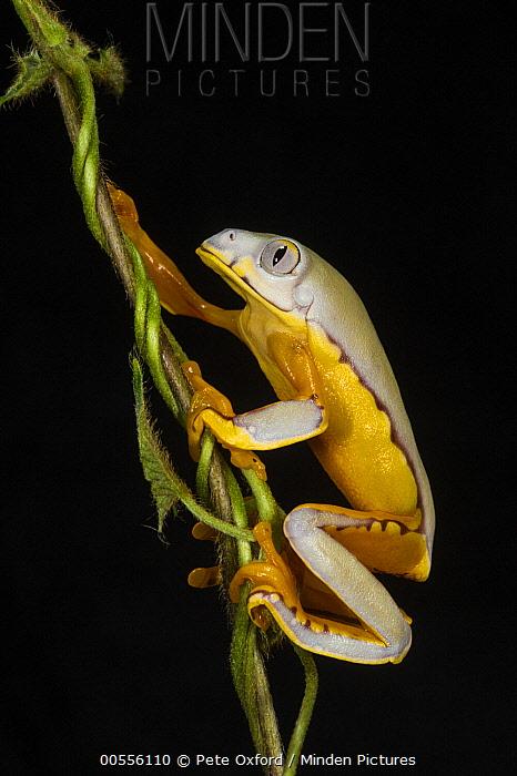 Splendid Leaf Frog (Agalychnis calcarifer) climbing, native to South America