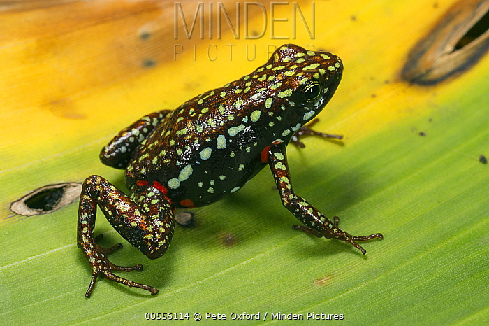 Phantasmal Poison Dart Frog (Epipedobates tricolor), native to South America