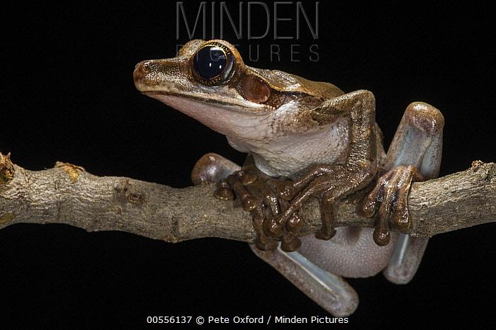 Flat-headed Bromeliad Treefrog (Osteocephalus planiceps), native to South America