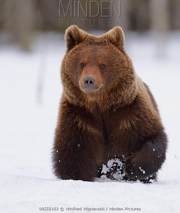Brown Bear (Ursus arctos) running through snow, Finland