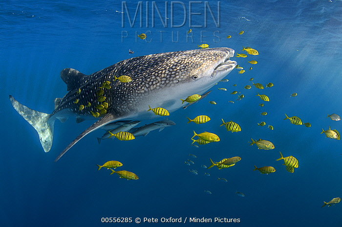 Whale Shark (Rhincodon typus) and Golden Trevally (Gnathanodon speciosus) school, Cenderawasih Bay, West Papua, Indonesia