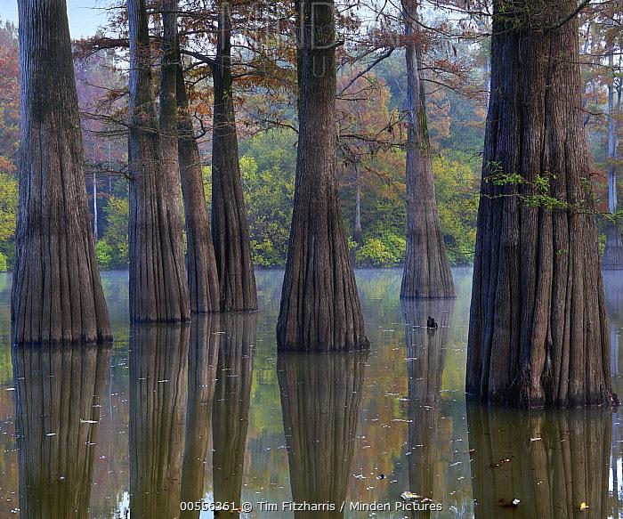 Bald Cypress (Taxodium distichum) trees in wetland, White River National Wildlife Refuge, Arkansas