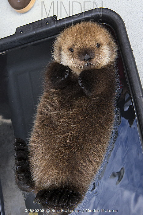 Sea Otter (Enhydra lutris) three week old orphaned pup floating in bucket, Alaska SeaLife Center, Seward, Alaska