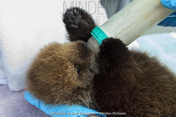 Sea Otter (Enhydra lutris) three week old orphaned pup being bottle-fed, Alaska SeaLife Center, Seward, Alaska