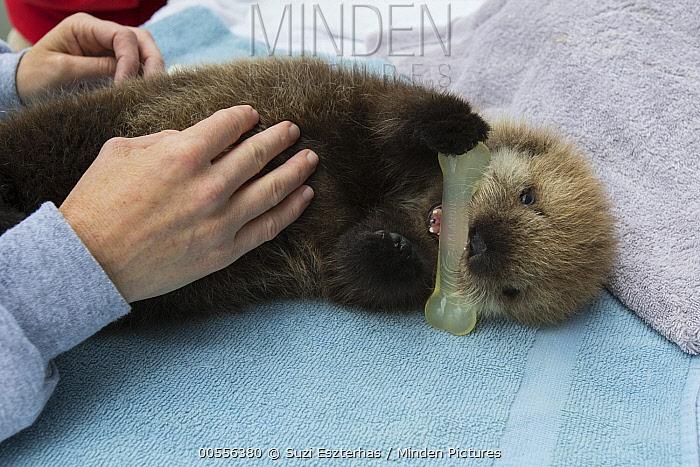 Sea Otter (Enhydra lutris) three week old orphaned pup playing with toy, Alaska SeaLife Center, Seward, Alaska