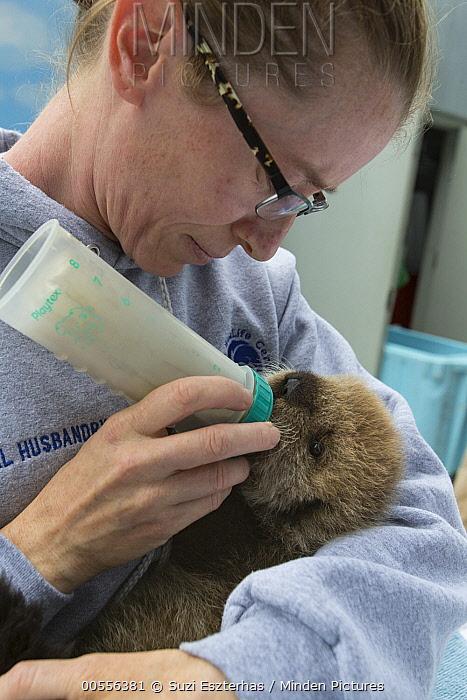 Sea Otter (Enhydra lutris) caretaker, Deanna Troeauga, bottle-feeding three week old orphaned pup, Alaska SeaLife Center, Seward, Alaska