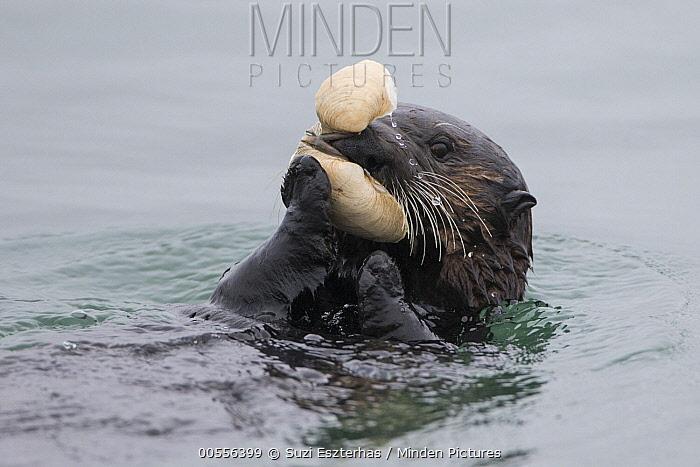 Sea Otter (Enhydra lutris) feeding on clam, Monterey Bay, California