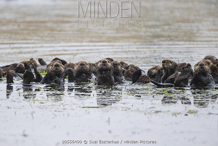 Sea Otter (Enhydra lutris) raft, Monterey Bay, California, digitally manipulated