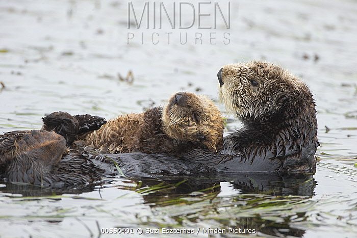 Sea Otter (Enhydra lutris) mother and three week old pup, Monterey Bay, California