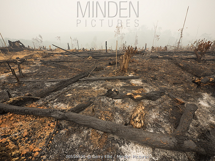 Burned rainforest, cleared for oil palm agriculture, Central Kalimantan, Borneo, Indonesia. October, 2015