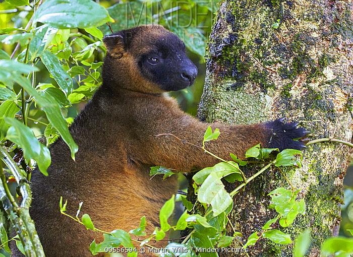 Lumholtz's Tree-kangaroo (Dendrolagus lumholtzi) male, Malanda, Queensland, Australia