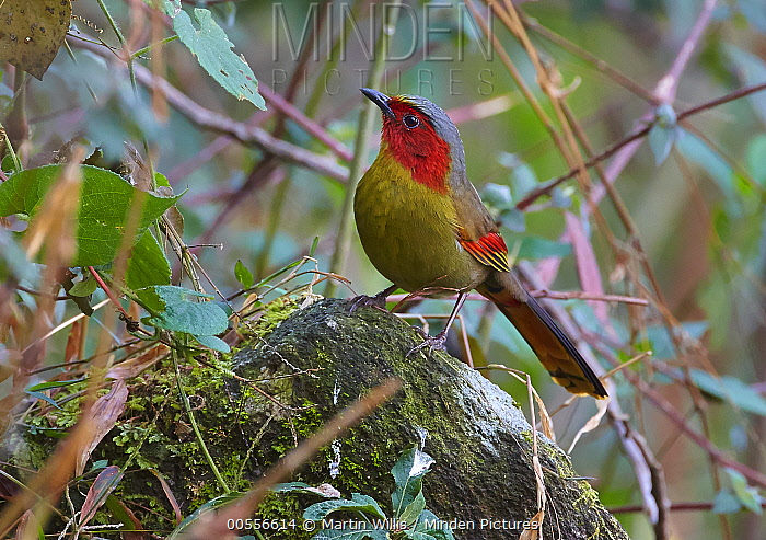 Red-faced Liocichla (Liocichla phoenicea), Gaoligongshan National Nature Reserve, Yunnan Province, China