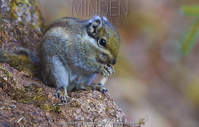 Swinhoe's Striped Squirrel (Tamiops swinhoei) feeding, Zhongdian, Yunnan Province, China