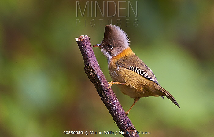 Whiskered Yuhina (Yuhina flavicollis), Gaoligongshan National Nature Reserve, Yunnan Province, China