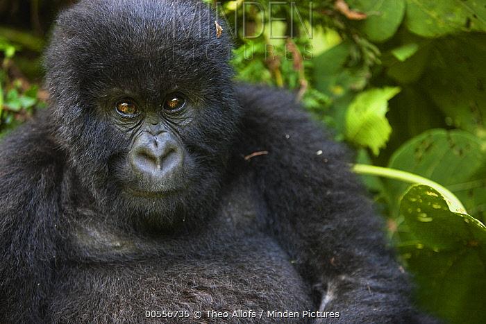 Mountain Gorilla (Gorilla gorilla beringei) juvenile male, Volcanoes National Park, Rwanda