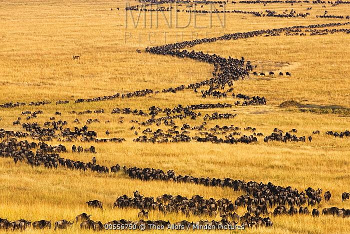 Blue Wildebeest (Connochaetes taurinus) herd migrating through savanna, Masai Mara, Kenya