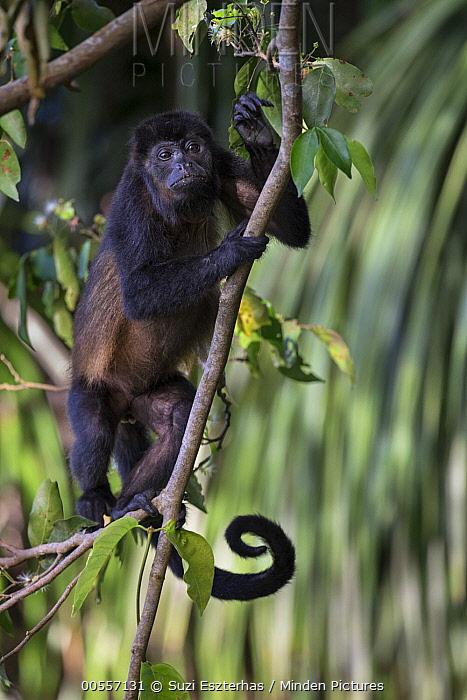 Mantled Howler Monkey (Alouatta palliata), Osa Peninsula, Costa Rica