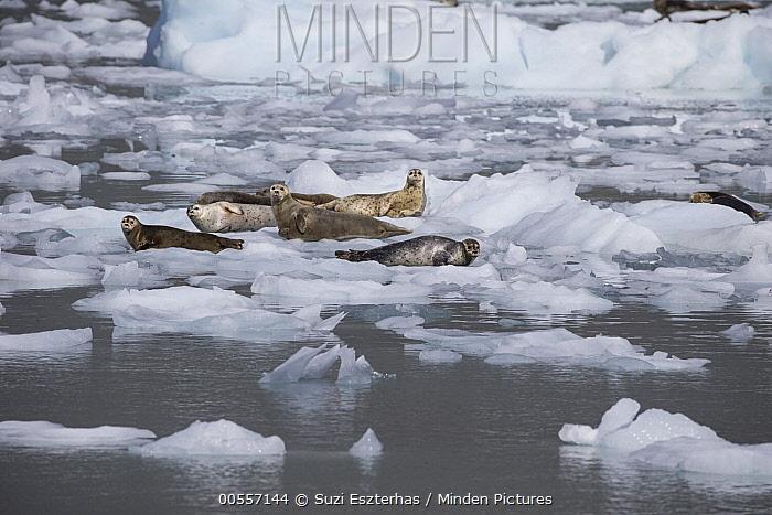 Harbor Seal (Phoca vitulina) group on ice floes, Prince William Sound, Alaska